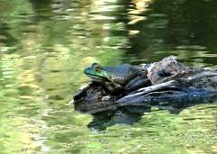 Friday's frog (EcoSnake) Tags: americanbullfrog lithobatescatesbeiana frogs amphibians wildlife water august summer idahofishandgame naturecenter