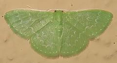 Southern Emerald Moth, Synchlora frondaria, I-19 Southbound Rest Area, Canoa, AZ (Seth Ausubel) Tags: geometridae az moth geometrinae