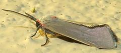 Mousey Tiger Moth, Pygarctia murina, I-19 Southbound Rest Area, Canoa (Seth Ausubel) Tags: erebidae az arctiinae moth arctiini