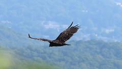 Vulture from Above (blazer8696) Tags: aura bird buzzard caeaur cathartes cathartesaura cathartidae cathartiformes img4061 scavenger turkey turkeyvulture tuvu vulture bearmountain newyork unitedstates 2019 ecw fortclinton ny t2019 usa
