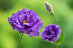 lisianthus 7539 (junjiaoyama) Tags: japan flower plant purple lisianthus eustoma summer macro bokeh