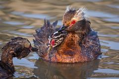Horned Grebe - Family (Turk Images) Tags: hornedgrebe stormwaterpond podicepsauritus alberta birds edmonton grebes hogr podicipedidae waterbirds
