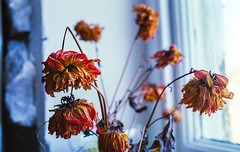 Dead flowers in colour #5 (Mano Green) Tags: dead flowers plant stem petal window light kendal cumbria england uk october 2016 autumn canon eos 300 40mm lens kodak gold 200 35mm film epson perfection v550 colour orange red yellow