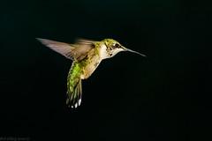 Ruby Throated-hummingbird (Bob Gilley) Tags: ruby throatedhummingbird elkton maryland