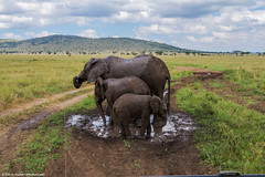 2019.06.06.2543 Mudbath (Brunswick Forge) Tags: 2019 grouped tanzania africa serengeti serengetinationalpark outdoor outdoors animal animals animalportraits wildlife nature summer winter maasai nikond500 inmotion tamron1530mm water day sunny cloudy clear sky air