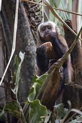 Brown Capuchin Monkey (Kusi Seminario) Tags: mono money capuchin machin tuftedcapuchin blackcappedcapuchin mammal mamifero rainforest selva jungle amazonia amazon amazonas peru southamerica sudamerica madrededios tambopata sandoval outdoors wildlife nature travel