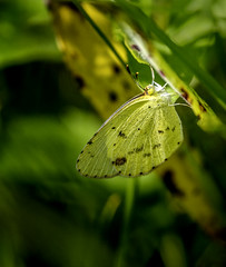 Shy Away (Portraying Life, LLC) Tags: da3004 hd14tc k1mkii michigan pentax ricoh topazaiclear unitedstates butterfly closecrop handheld nativelighting meadow shadow grass hideout count