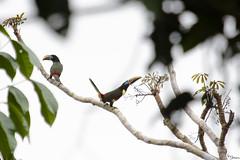 Chestnut-eared aracari (Kusi Seminario) Tags: bird ave tucan arasari tucaneta tucancillo rainforest selva jungle amazonia amazon amazonas peru southamerica sudamerica madrededios tambopata sandoval outdoors wildlife nature travel