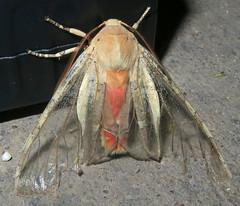 Edwards' Glassy-wing, Pseudohemihyalea edwardsii, Madera Canyon, Santa Cruz County (Seth Ausubel) Tags: erebidae az arctiinae moth arctiini