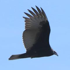 Vulture (blazer8696) Tags: aura bird buzzard caeaur cathartes cathartesaura cathartidae cathartiformes img4079 scavenger turkey turkeyvulture tuvu vulture bearmountain newyork unitedstates 2019 ecw fortclinton ny t2019 usa