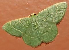 Thin-lined Chlorochlamys Moth, Chlorochlamys phyllinaria, I-19 Southbound Rest Area, Canoa, AZ (Seth Ausubel) Tags: geometridae moth az geometrinae