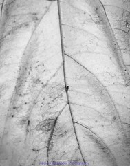 Texture 07: In Vein (Nicky Highlander Photography) Tags: barbados caribbean westindies saintpeter polomar gardens backyard abstract pattern outsidethebox outdoors blackandwhite monochrome fineart series barbadosphotographicsociety fieldtrip flora tropical trees leaf backlit photoessay photojournalism lifestyle editorial documentary barbadian videographer naturallight nature texture light