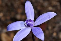 Cyanicula sericea (jeans_Photos) Tags: cyaniculasericea cyanicula orchid orchidaceae wandoonationalpark westernaustralia blue