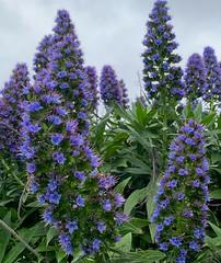 Pride of Madeira (The Pocket Rocket) Tags: prideofmadeira echium oceangrove victoria australia 100flowers2019 image59100