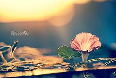 The Sound of Light... (BlueLunarRose) Tags: morningglory morning glory sun sunrise light sunlight glow bokeh dof flower glitter plant window leaf leaves nature sonyalphadslra200 sal75300 bluelunarrose