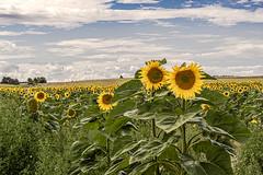 sunflowers (a7m2) Tags: sunflowers waldviertel kamptal zwettl ottenstein loweraustria feld wandern flower flora travel wolken sommer