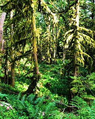 Fern Forest (Pennan_Brae) Tags: quiet peaceful beautiful hiking nature fern ferns green forest trees
