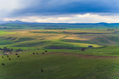 Sharing the Light DSC_9454 (BlueberryAsh) Tags: hills landscape rollinghills green sky birds cows mickleham shed tree light sun weather cloudsstormssunsetssunrises mountains