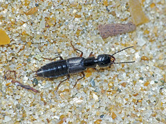 Beach rove-beetle Remus species perhaps (Simon Grove (TMAG)) Tags: insecta coleoptera staphylinidae remus