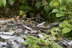NIGHTJAR (Neil Shaw Images) Tags: caprimulguseuropaeus goatsucker crepuscular bird groundnesting heathland evening dusk churring night migrating summer young chicks bracken brood nighthawk