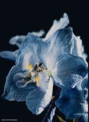 Delphinium (josephzmuda2) Tags: flowers blue summer stilllife plant flower color macro nature floral closeup botanical outdoors petals day pittsburgh pennsylvania fineart pollen delphinium larkspur blueflower singleflower blueandyellowflower