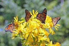 Backyard Beauty (marylee.agnew) Tags: monarch butterflies cup plants backyard beauty urban migration flowers outdoor sunshine dream yellow orange