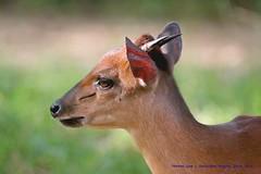 Red Forest Duiker........... (law_keven) Tags: redforestduiker london zoo animals wildlife wildlifephotography photography londonzoo animalphotography england