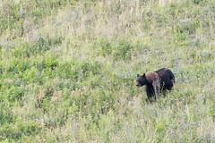 Black Bear (alanrharris53) Tags: waterton alberta canada bear black foraging