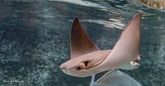 BVG_8117 (Borreltje.com) Tags: nature zoo blijdorp dierentuin diergaarde fish eaglerayray rogadelaarsrog