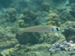 Zebra dartfish (Ptereleotris zebra)