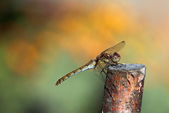 Common Darter! [Explored!] (RiverCrouchWalker) Tags: commondarter sympetrumstriolatum darter perching post bokeh insect invertebrate rettendon essex rhs rhshydehall hydehall august 2019 summer