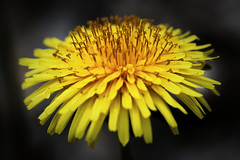 Taraxacum officinale (Domikawa4) Tags: dentdelion pissenlit jaune extérieur outdoor fleur flower yellow