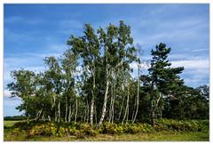 Waldspitze (Werner Ba) Tags: wald birken dars born kiefern farne natur landschaft