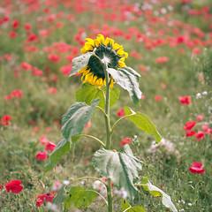 (Andrew :-)) Tags: bronicasqa zenzanons150mm35 kodakportra160 mediumformat sunflower poppies