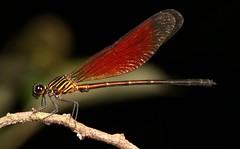 Male Ochraceous Darkie Damselfly (Euphaea ochracea, Euphaeidae) (John Horstman (itchydogimages, SINOBUG)) Tags: insect macro china yunnan itchydogimages sinobug entomology canon damselfly odonata euphaeidae topf25