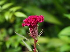 ケイトウ (arty822) Tags: flower ケイトウ 赤