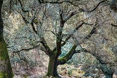 Fairytale Tree (orkomedix) Tags: canon 6d 24105f4l ef24105f4l santuaridelluc mallorca tree mystic woods spain outdoor hiking phototrip