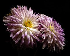 Purple White Dahlis Pair 1001 (Tjerger) Tags: nature beauty black blackbackground bloom blooming blooms closeup duo fall flora floral flower flowers gold macro pair plant portrait purple two white wisconsin yellow couple dahlia dahlias natural beauitful pinkt beautiful