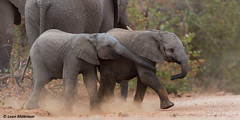 Young African Elephants (leendert3) Tags: leonmolenaar southafrica krugernationalpark naturereserve nature wilderness wildlife wildflowers naturalhabitat mammal africanelephant ngc npc coth5