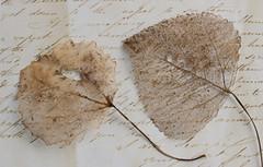 skeletal leaves 01 aug 19 (Shaun the grime lover) Tags: autumn leaves texture skeleton skeletal writing paper handwriting
