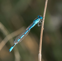 Cliffe 30.08.19 Male Azure-
