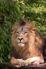 Asiatic lion (Cloudtail the Snow Leopard) Tags: tier animal säugetier mammal cat big katze groskatze raubkatze lion löwe panthera leo predator beutegreifer persica persischer asiiatischer indischer asiatic wilhelma stuttgart