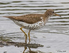 IMG_6767 sandpiper (starc283) Tags: bird birding birds waterfowl nature naturesfinest natures naturewatcher flickr flicker starc283