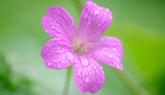 Droplets on flower (Dhina A) Tags: sony a7rii ilce7rm2 a7r2 a7r sigma 105mm f28 sigma105mmf28 ex dg os hsm macro metabones iv droplets flower bokeh geranium