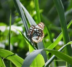 Dark Blue Tiger (Tirumala hamata subnubila)