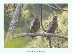 Steppe eagle on perch in Forest (T@hir'S Photography) Tags: africa animal animalbodypart animalwildlife animalwing animalshunting animalsinthewild autumn beak beautyinnature birdofprey brown colorimage danger eaglebird ecotourism environmentalconservation environmentalissues falconry feather field flying forest freedom grass greencolor hawkbird horizon horizontal india kenya movinghouse nature nopeople outdoors pakistan perching photography plain safarianimals savannah semiarid socialissues speed steppe steppeeagle travel tree yellow perch green