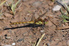 DSC_2517 (Birder Jez) Tags: dragonfly insect commondarter female bradgatepark odonata
