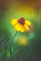 Love at first sight (Ans van de Sluis) Tags: 2019 ansvandesluis august bokehlicious botanic colours coreopsis flora floral flower green macro meisjesogen nature summer yellow