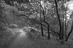EveningWalk (Tony Tooth) Tags: nikon d600 tamron 2470mm footpath pathway woods woodland woodlandwalk bw blackandwhite monochrome danebridge staffs staffordshire countryside tripod