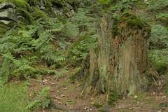 SlowDecay (Tony Tooth) Tags: nikon d6100 sigma 70mm stump treestump decay tripod stilllife danebridge staffs staffordshire